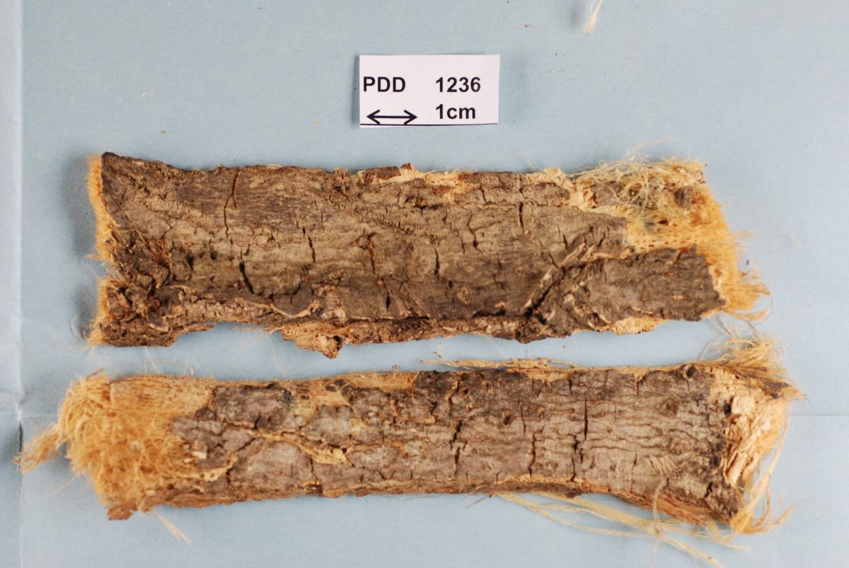 Image of Nectria hoheriae