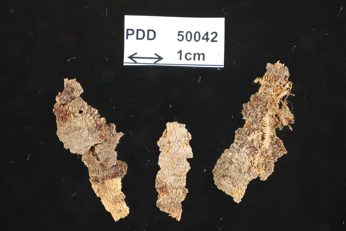 Bionectria grammicosporopsis image