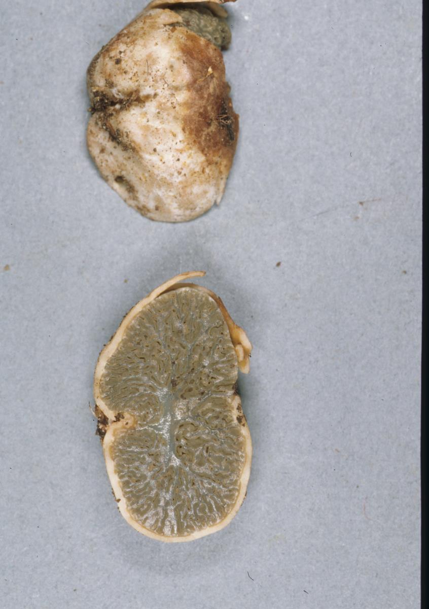 Image of Hysterangium rugisporum