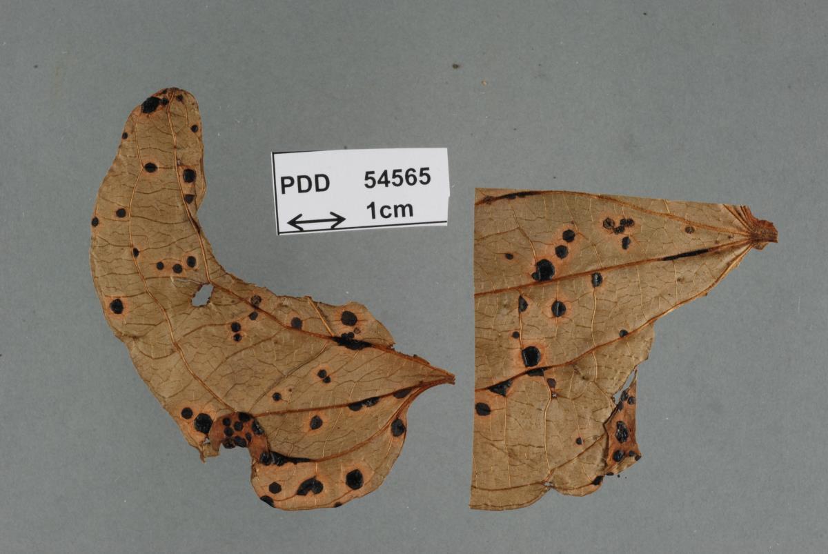 Image of Parencoelia andina