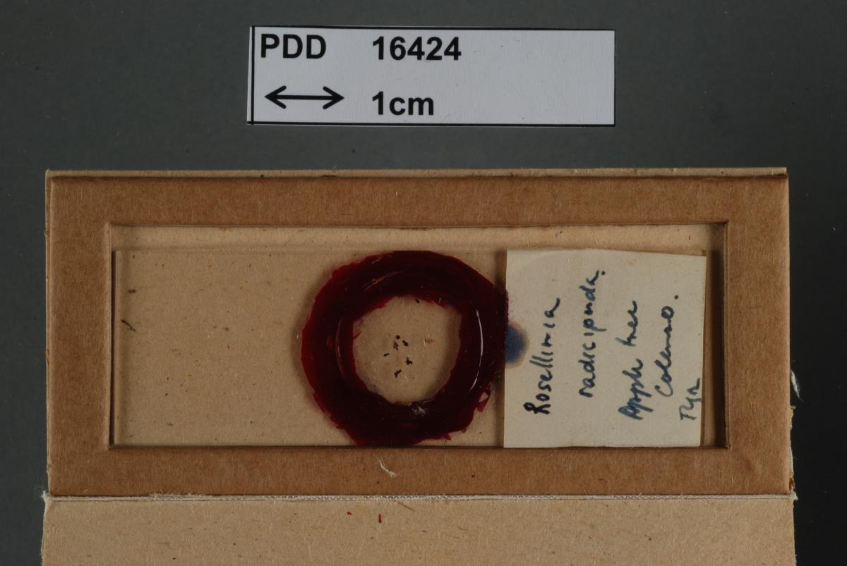 Image of Rosellinia radiciperda