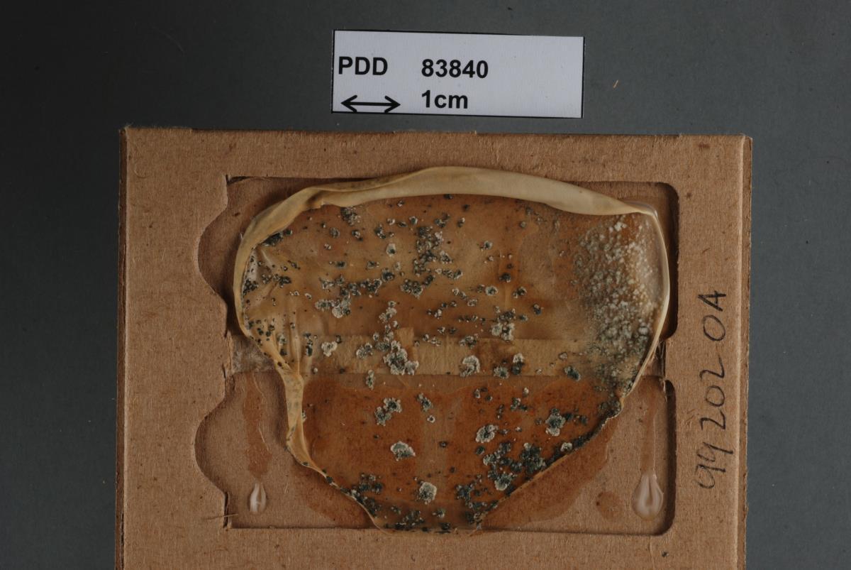 Image of Trichoderma dorotheae