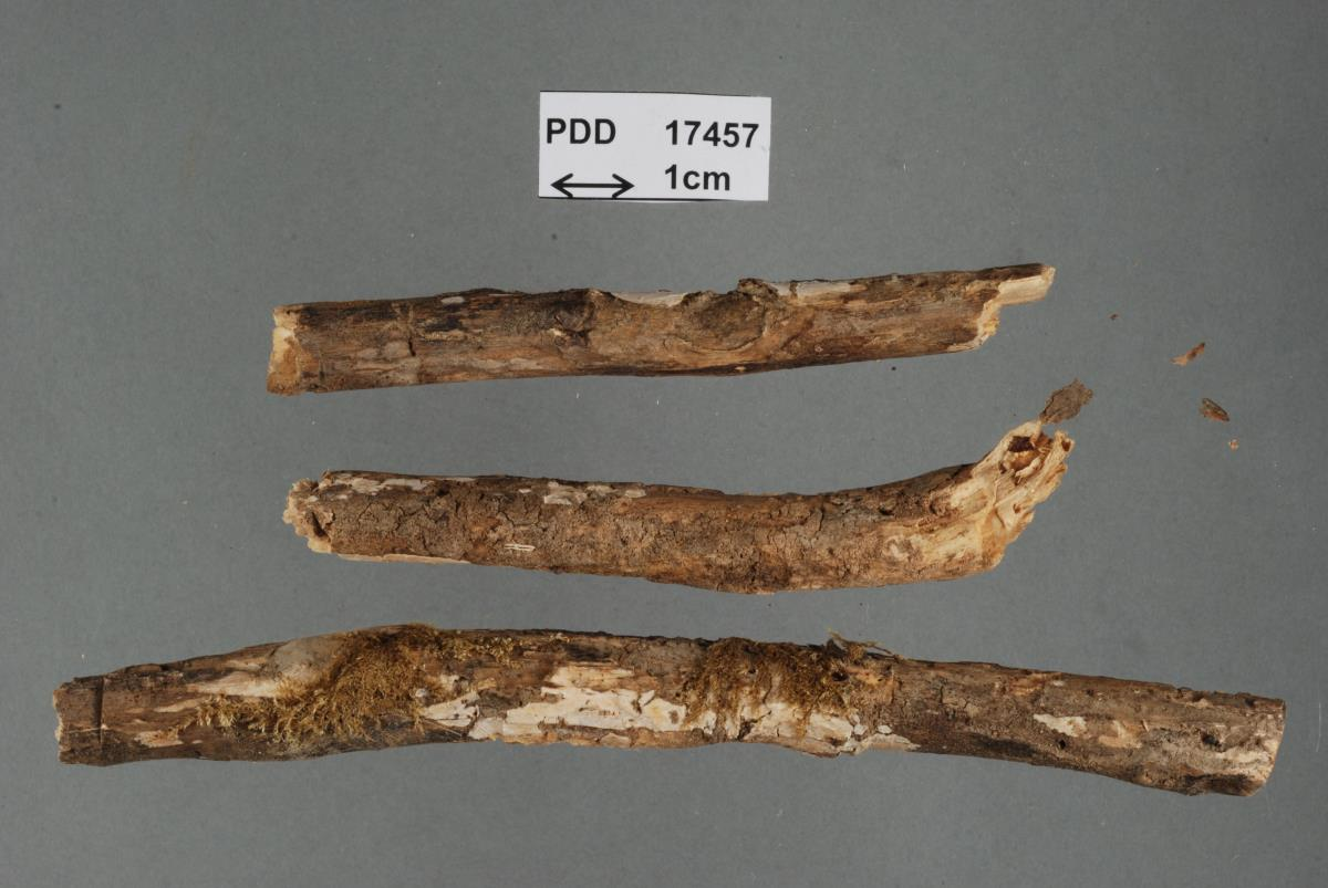 Image of Dendrothele biapiculata