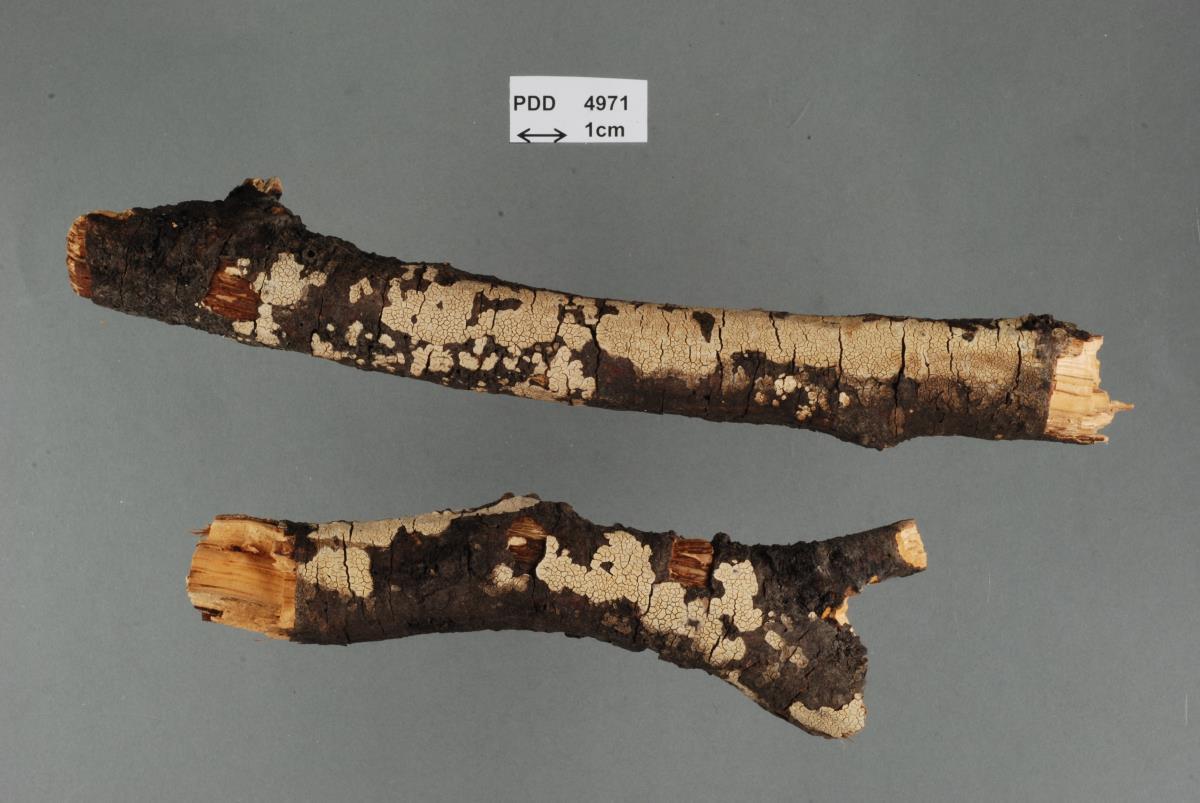 Aleurodiscus coralloides image