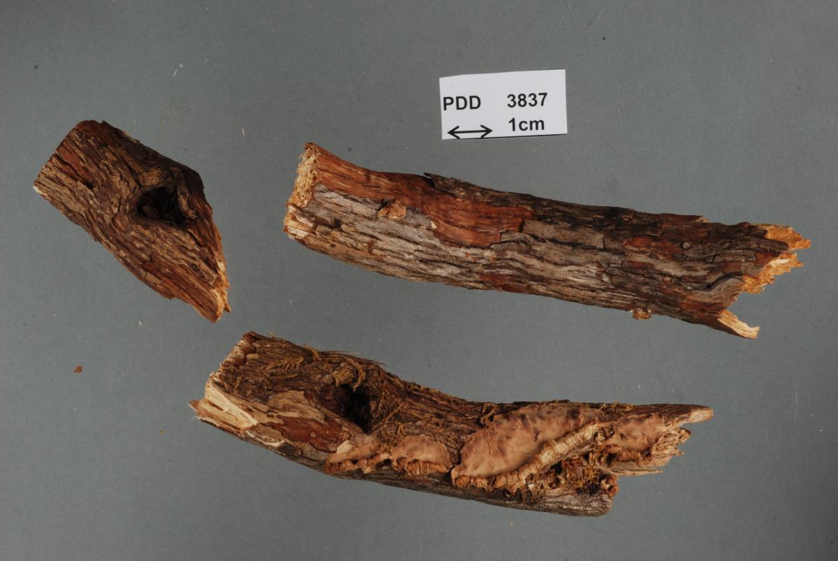 Image of Aleurodiscus pateriformis