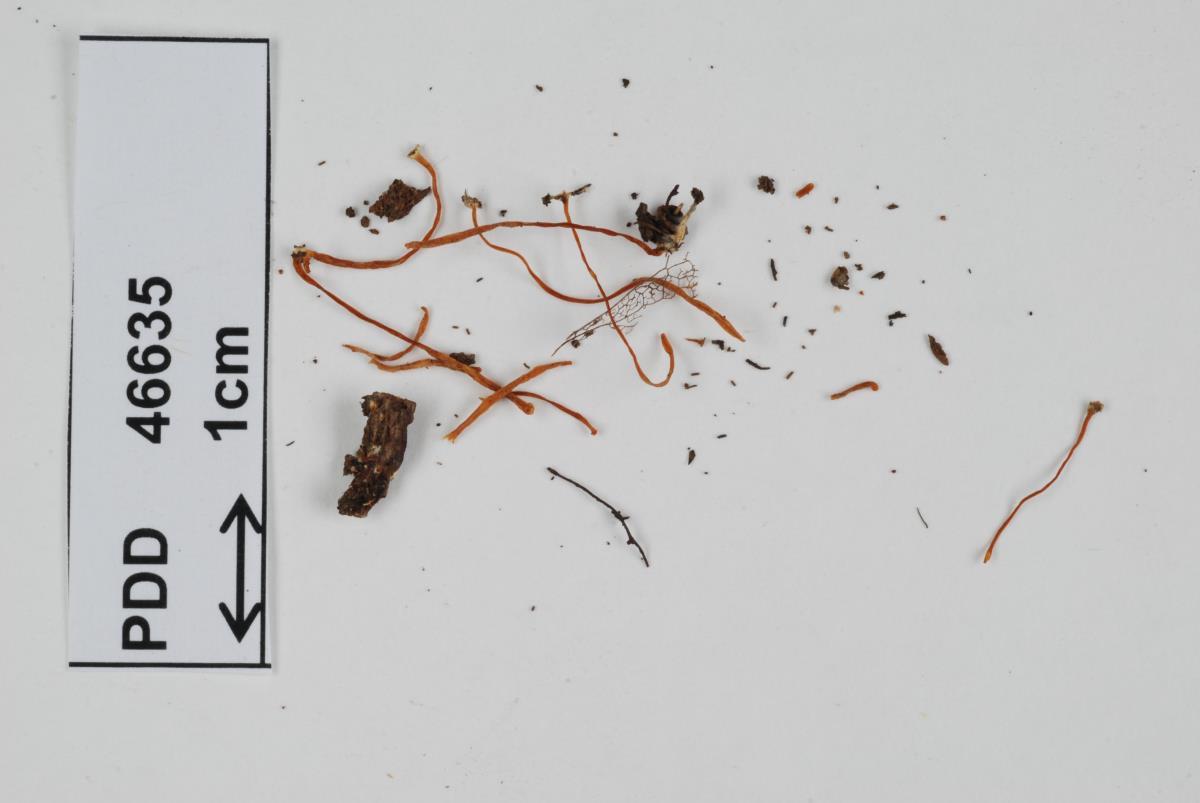 Image of Clavaria echinoolivacea