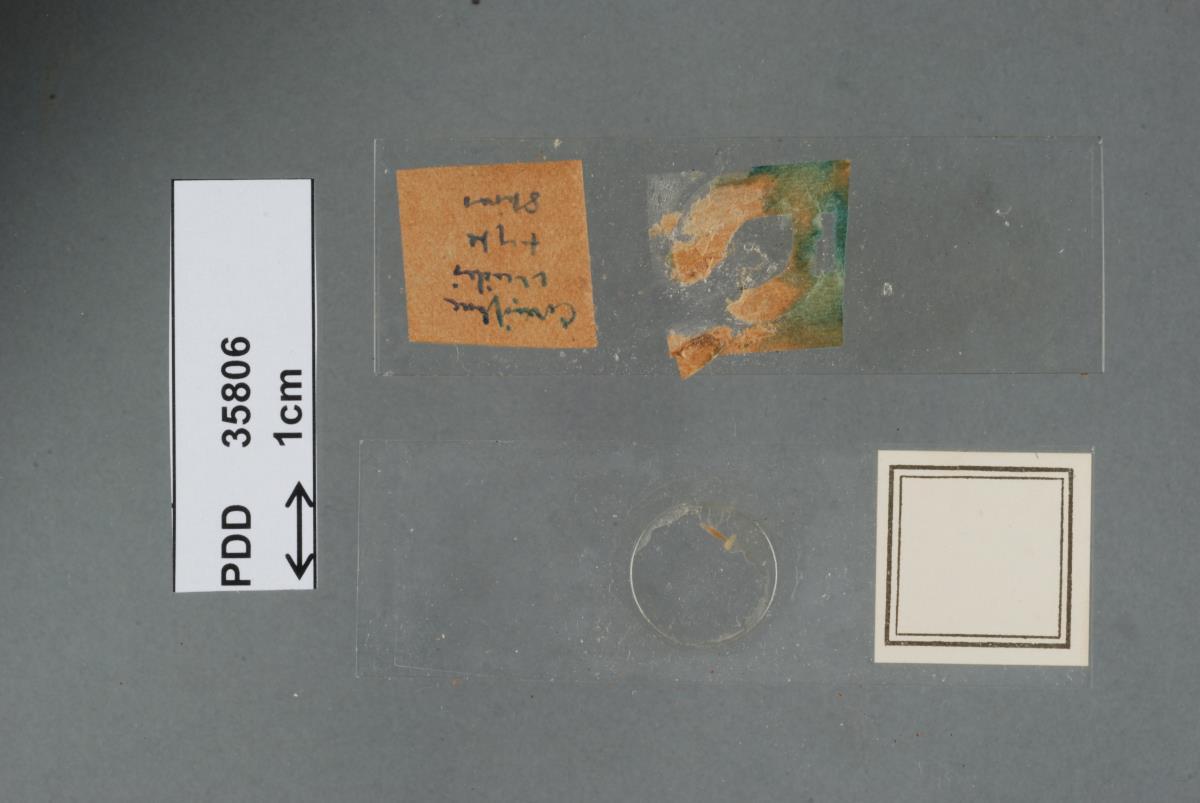 Image of Corticium viride