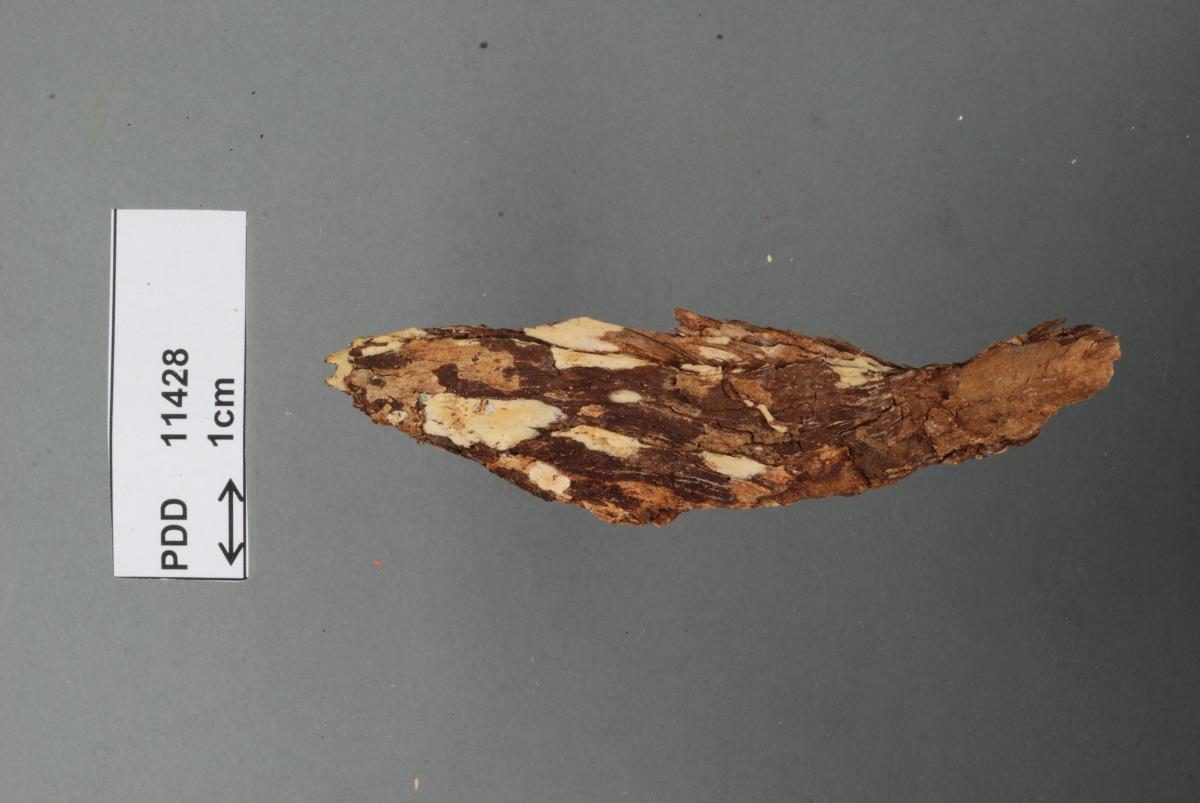Image of Corticium ampullosporum