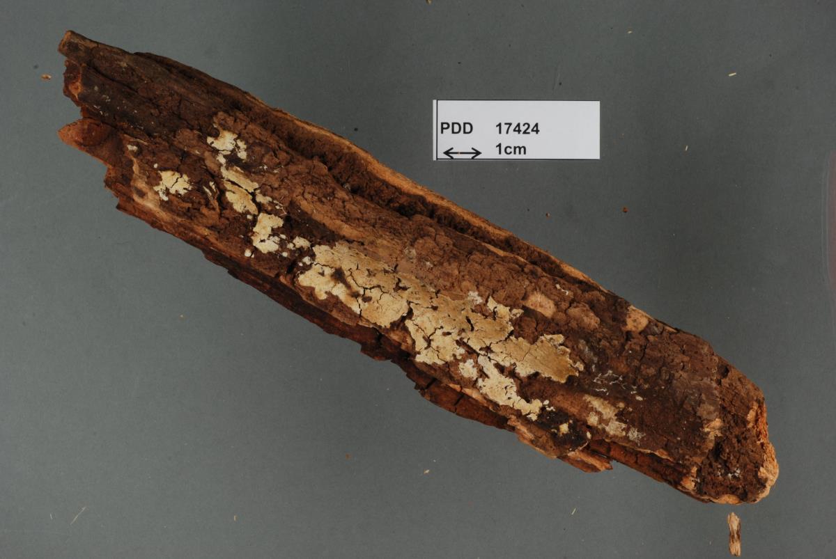Rogersella griseliniae image
