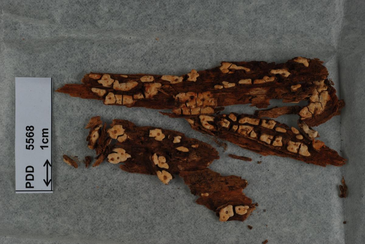 Image of Corticium kauri
