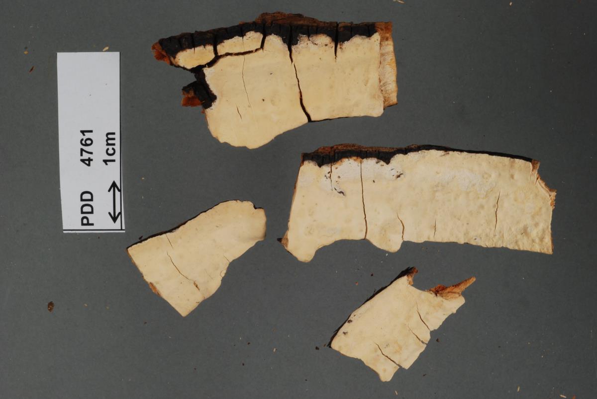 Image of Corticium perenne