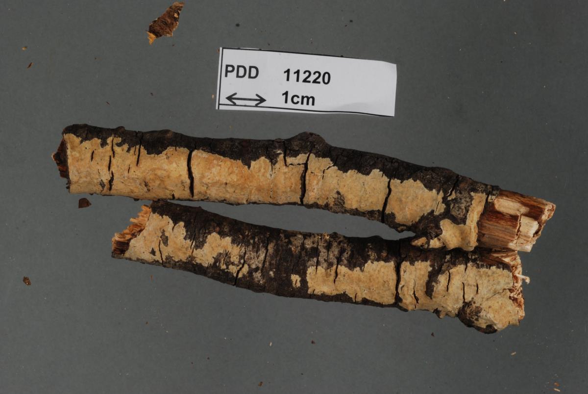 Image of Corticium patricium