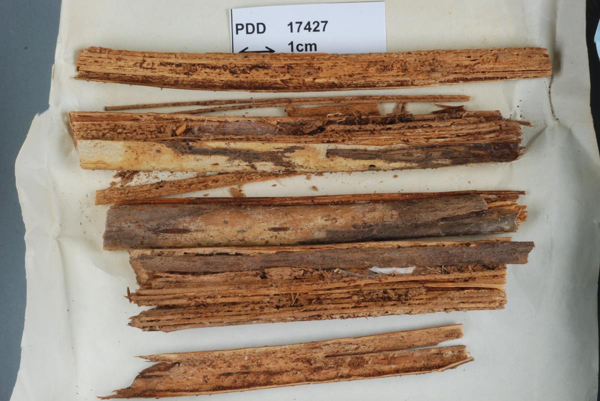 Image of Corticium pteridophilum