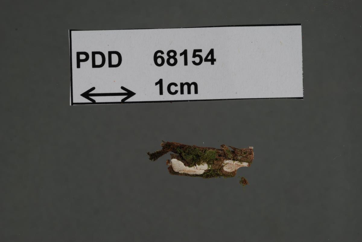 Image of Dendrothele pitrae