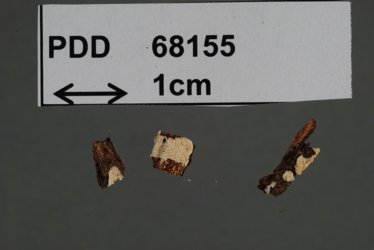 Image of Dendrothele tuberculata