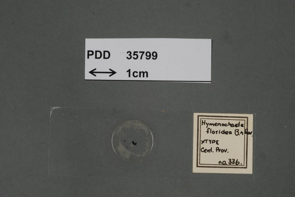 Image of Hymenochaete floridea