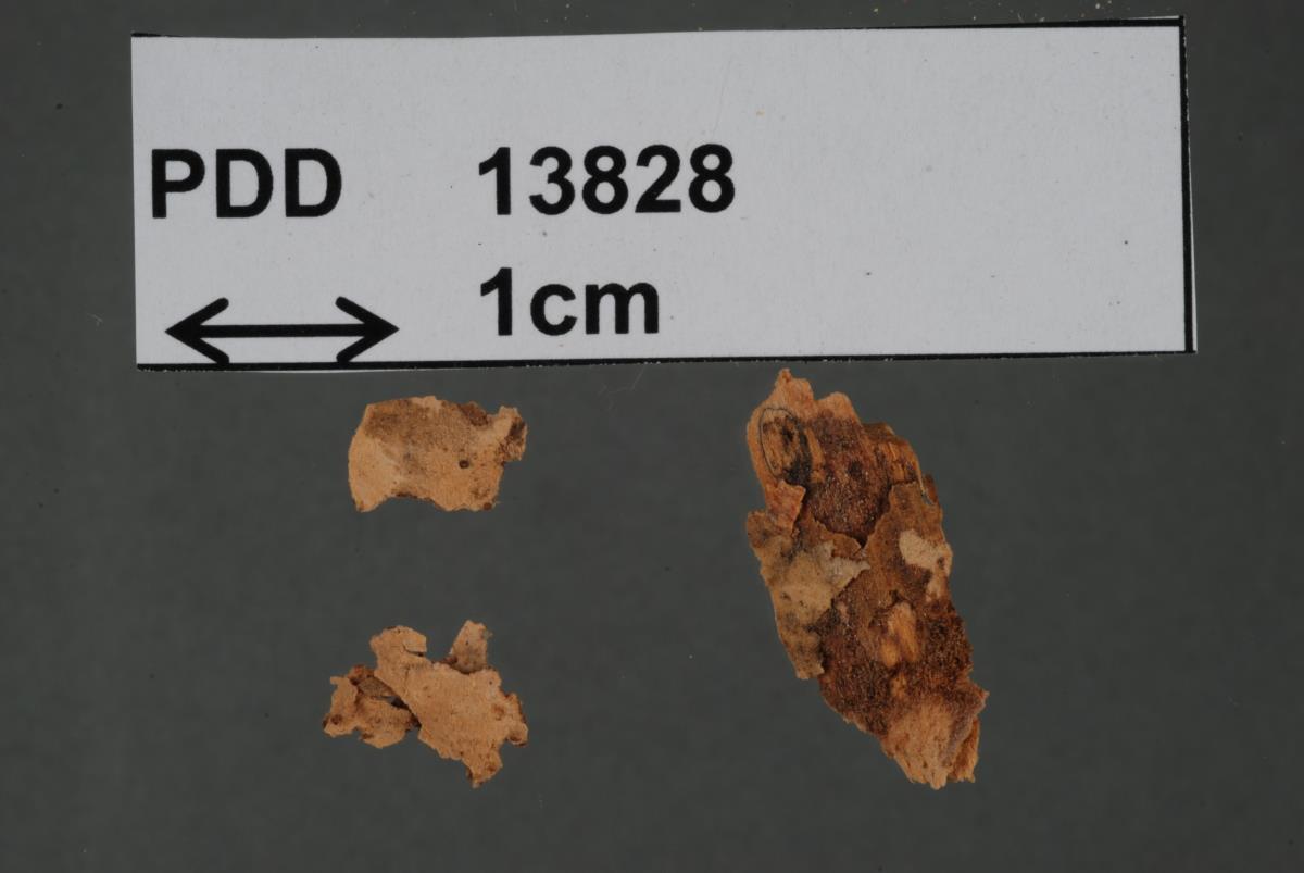 Peniophora scintillans image