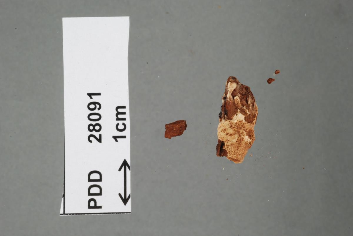 Image of Polyporus dictyoporus