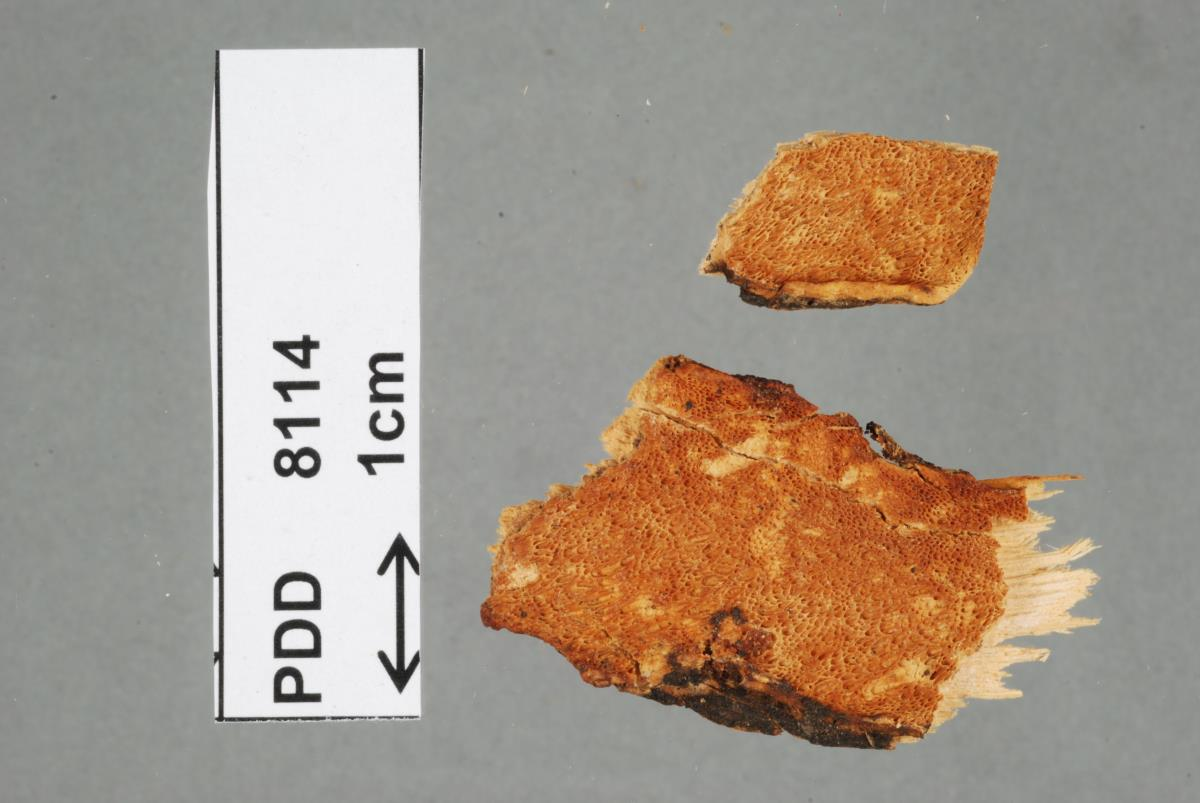 Dichomitus image