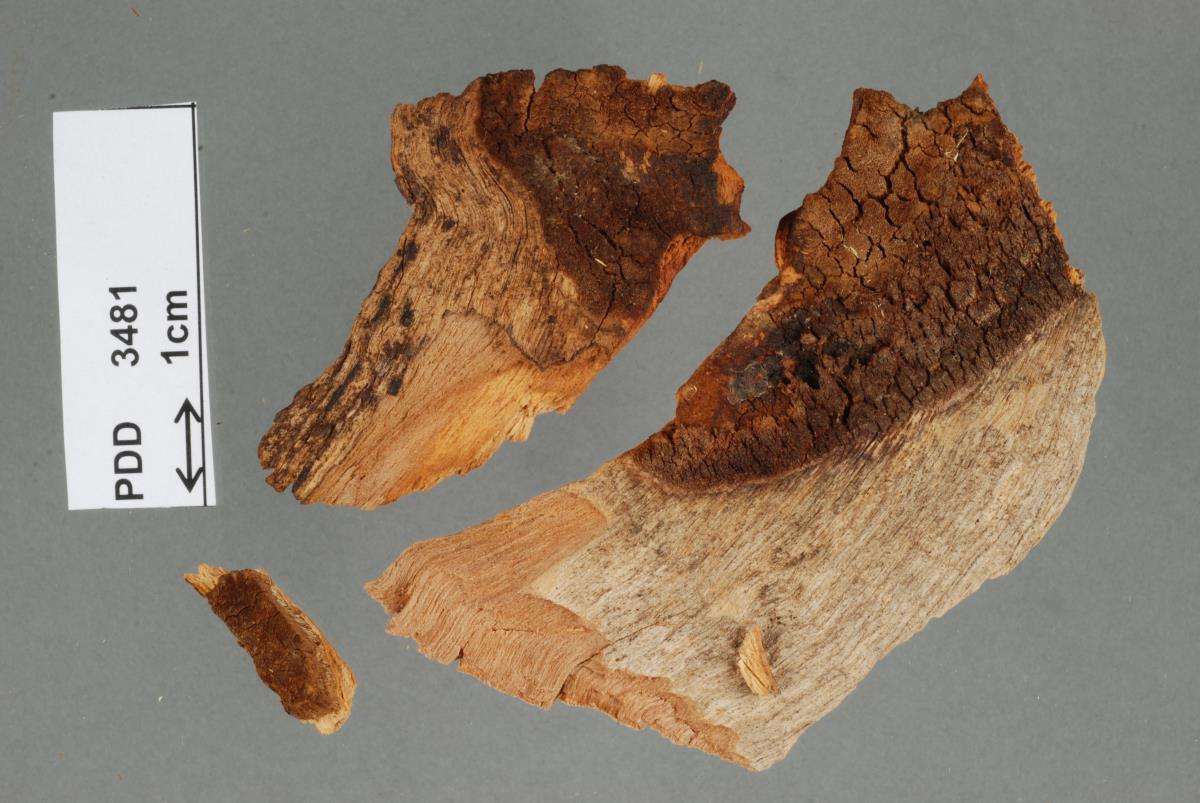 Image of Phellinus sublaevigatus