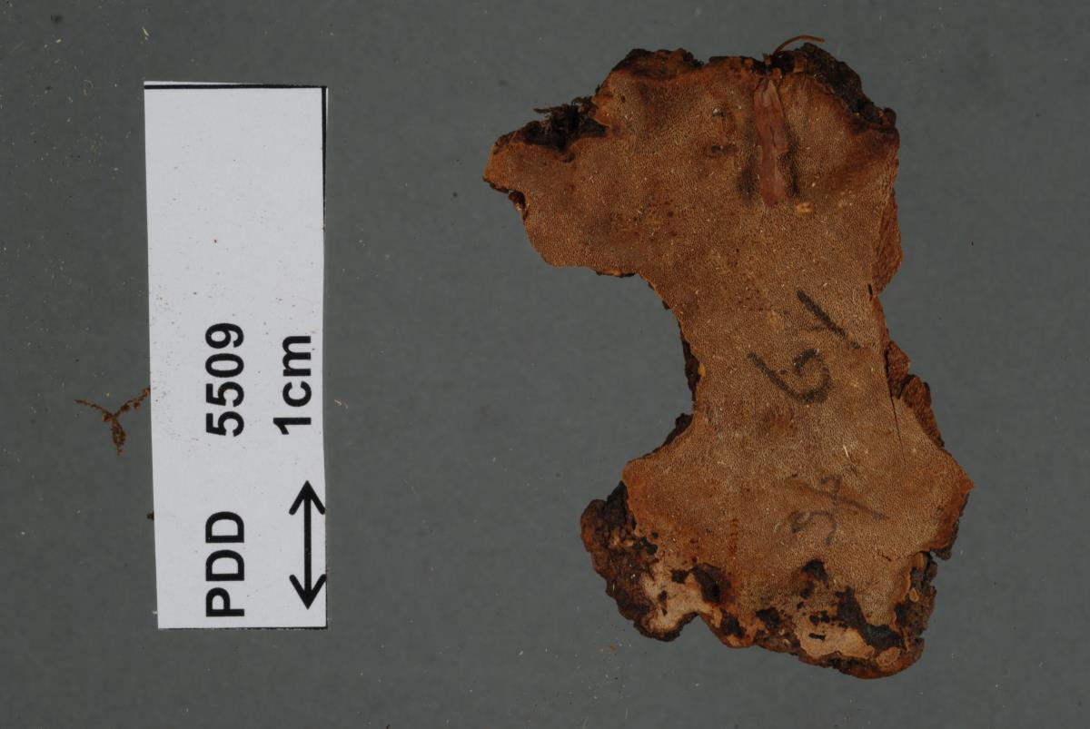 Image of Phellinus tawhai