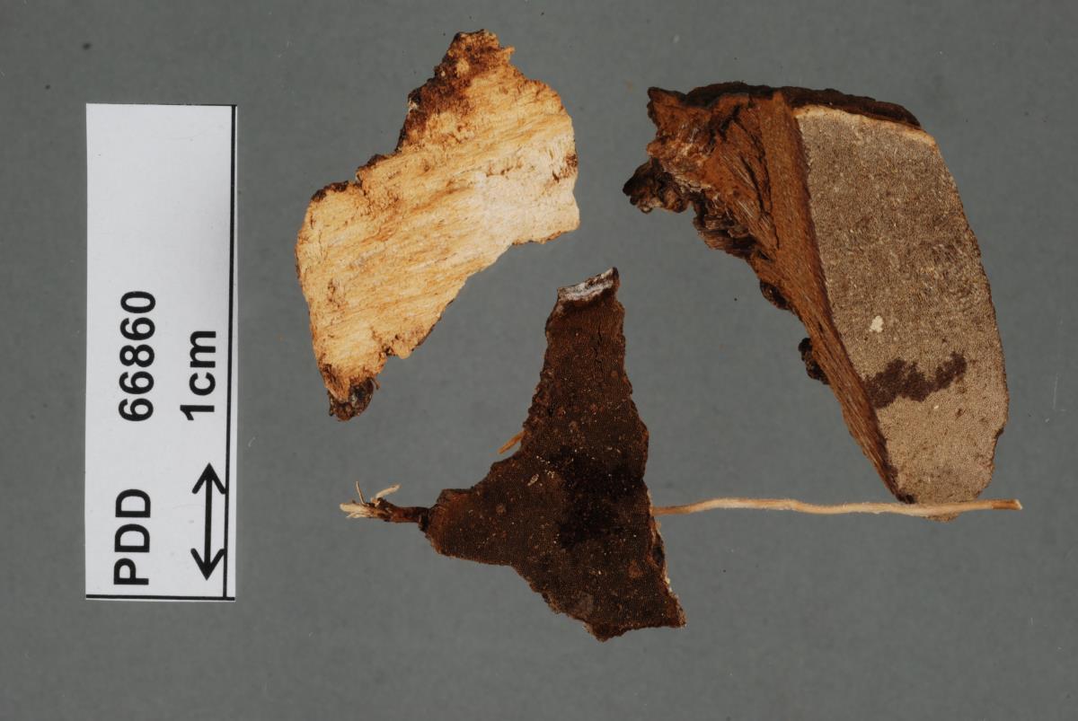 Pseudocercospora synedrellae image