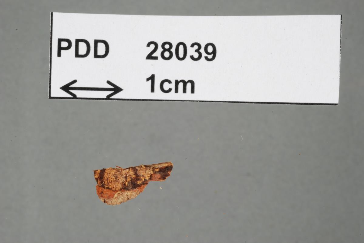 Image of Polyporus rufolateritius