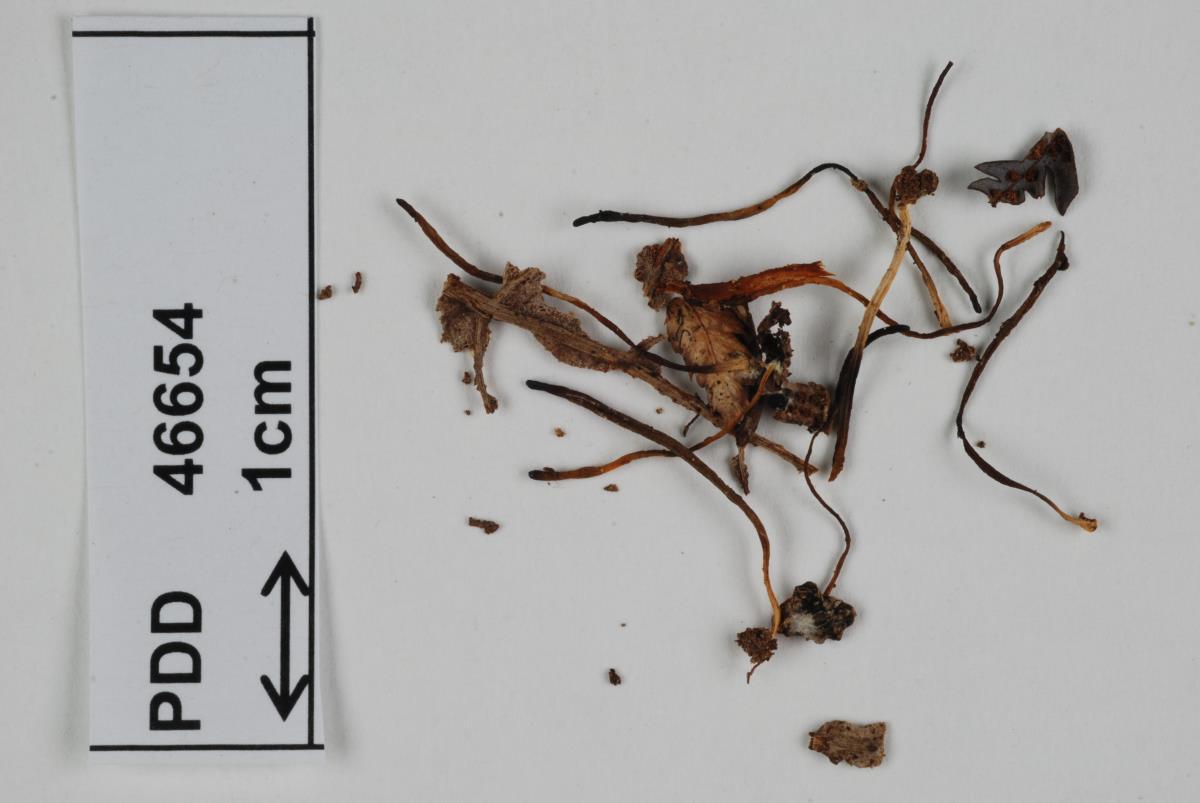 Image of Ramariopsis aurantioolivacea