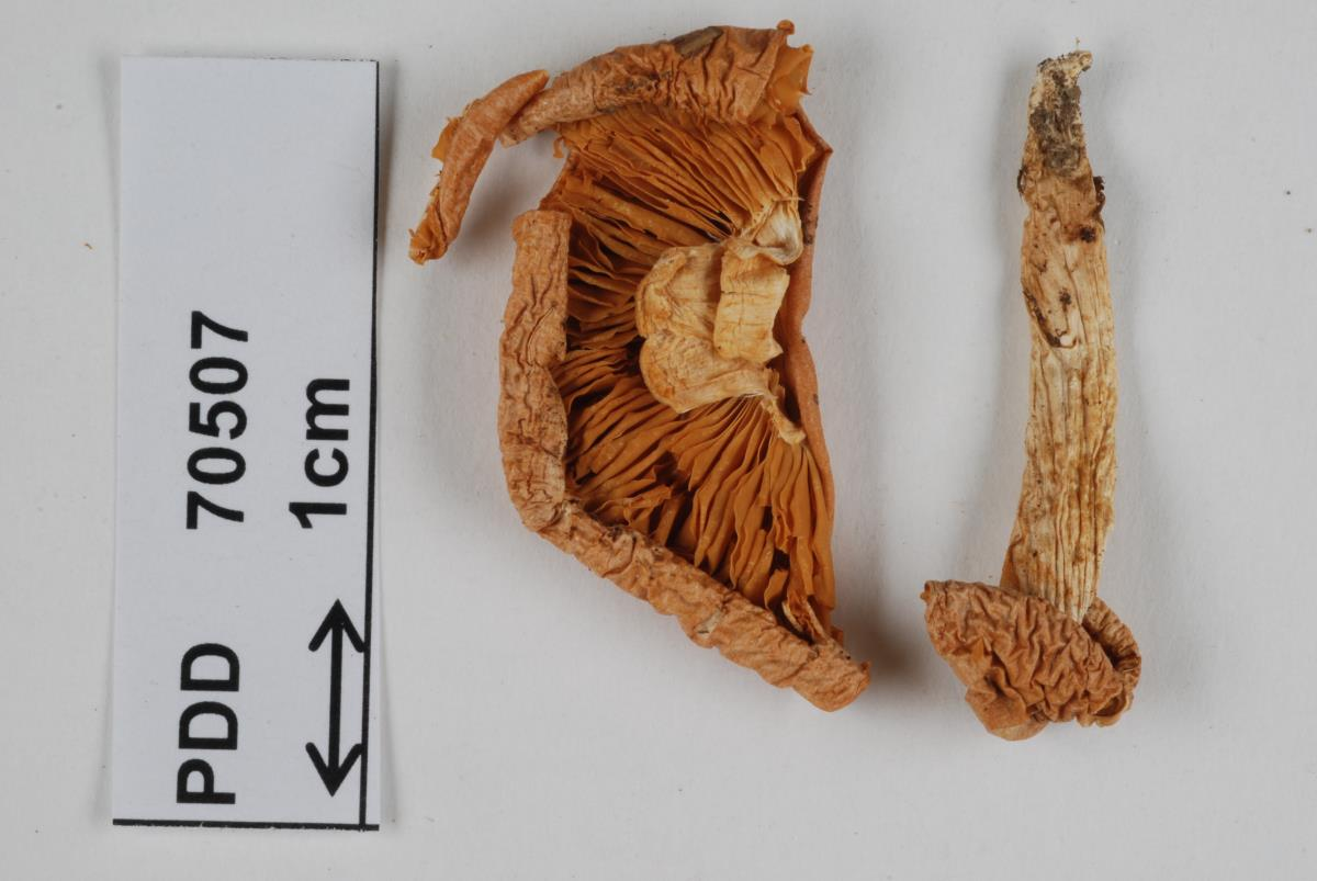 Image of Cortinarius persicanus