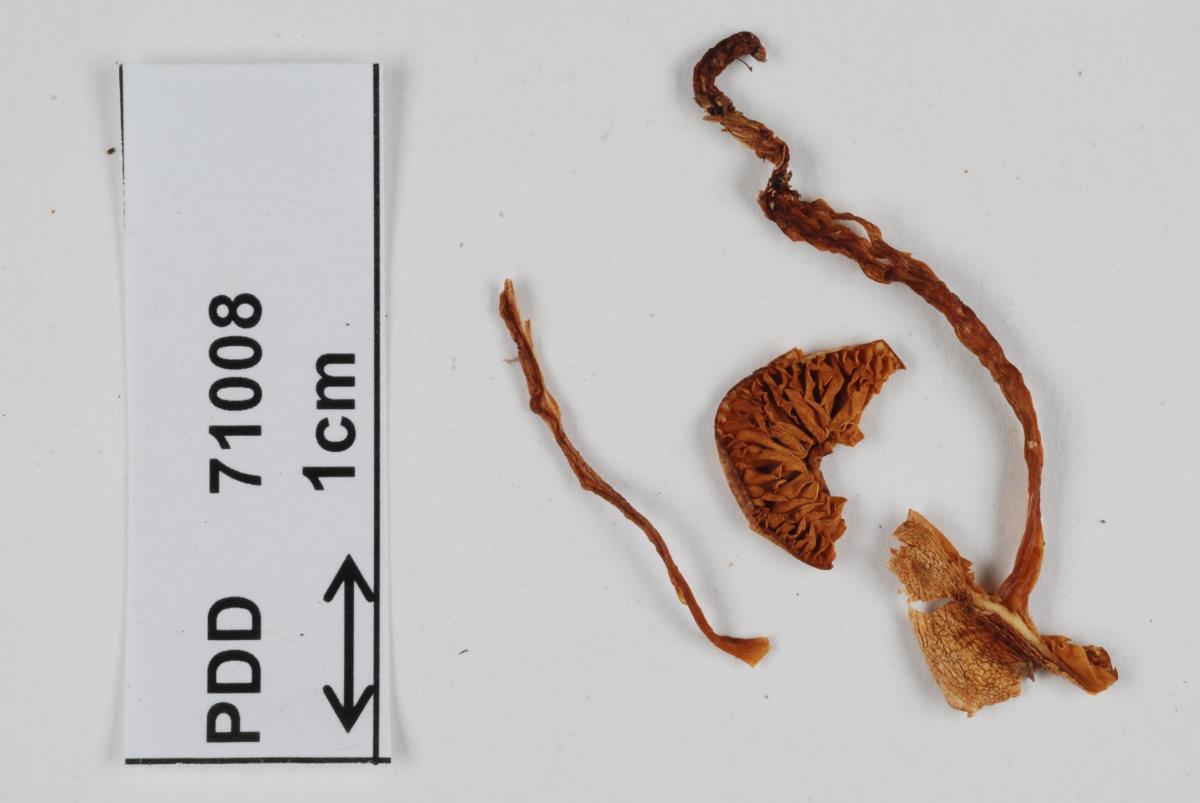 Cortinarius periclymenus image