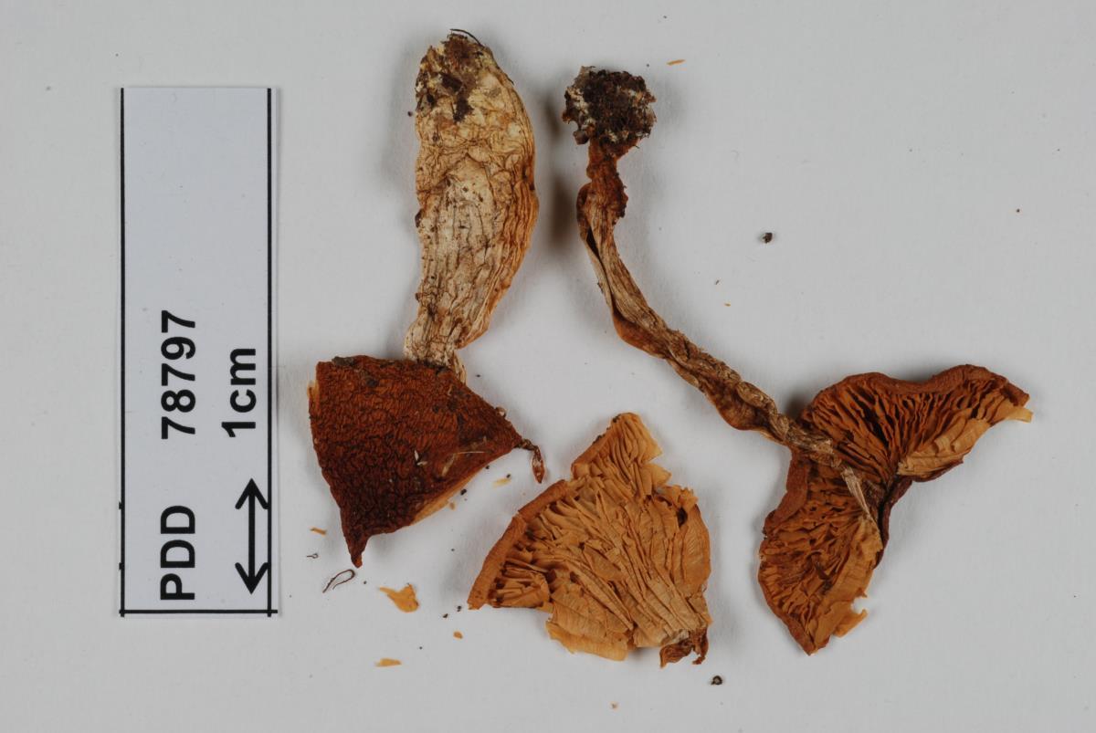 Image of Cortinarius dulciorum