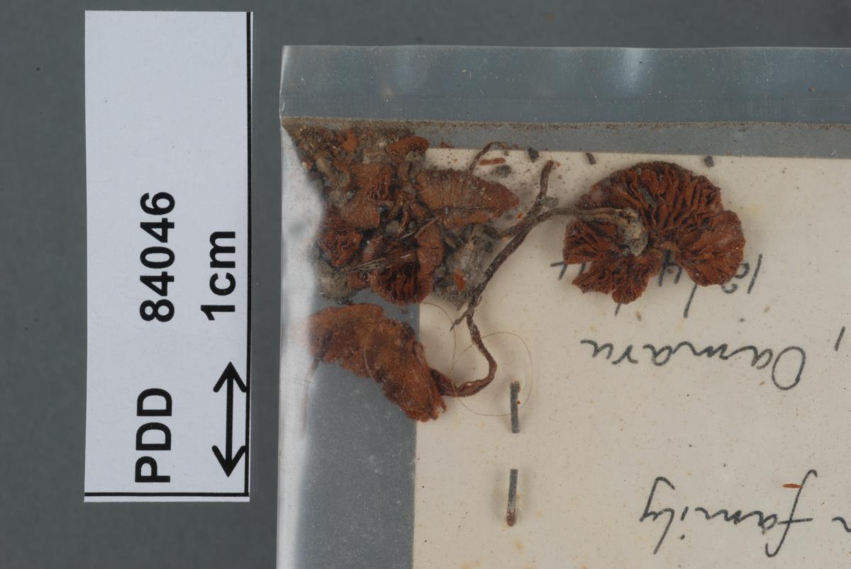 Image of Conocybe novae-zelandiae