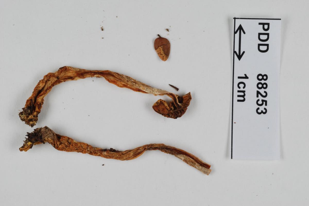 Image of Cortinarius orixanthus