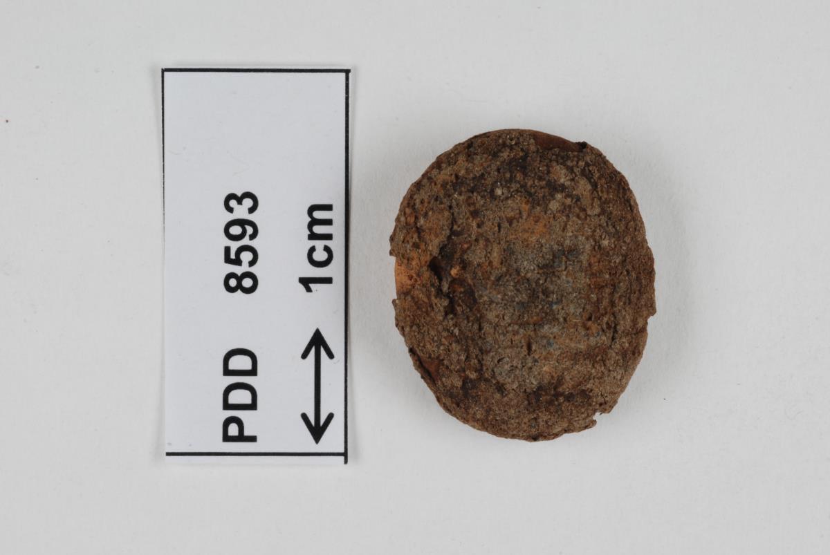 Image of Disciseda verrucosa