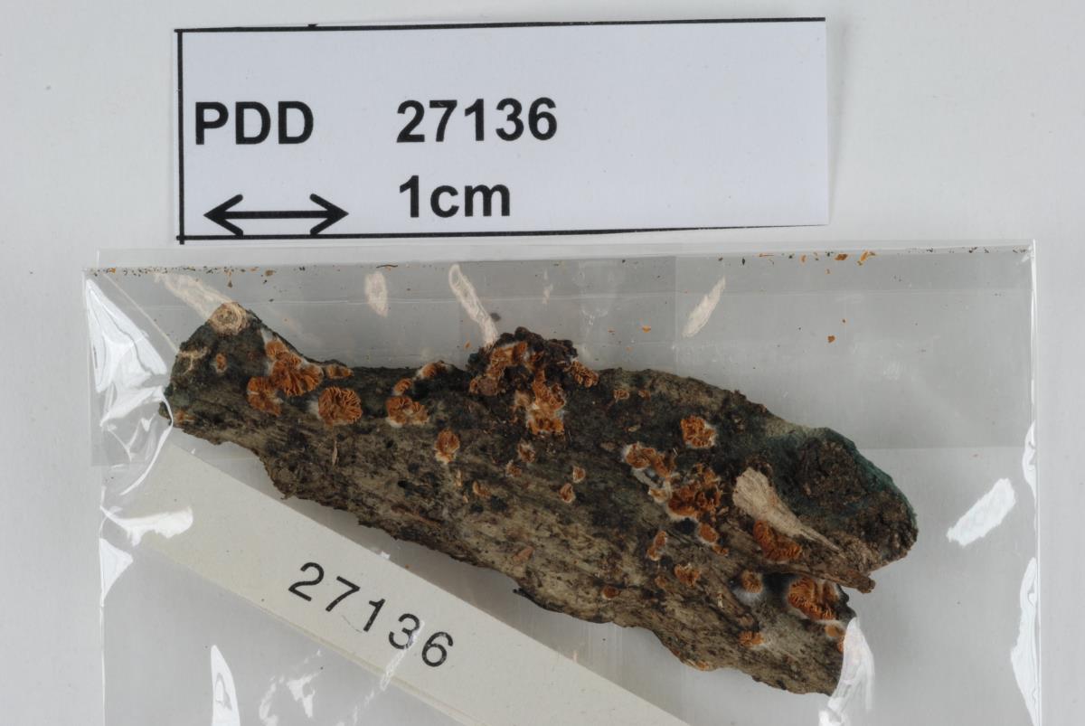 Image of Crepidotus nanicus