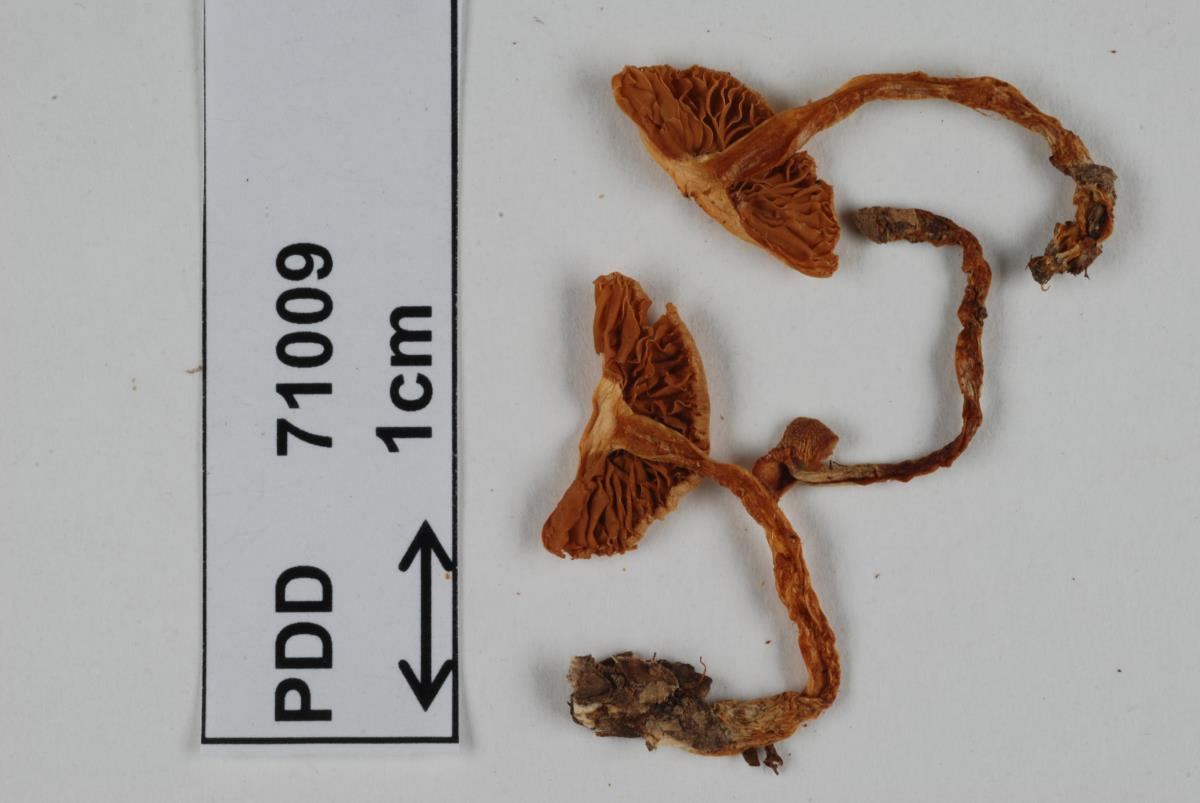 Image of Cortinarius rattinus