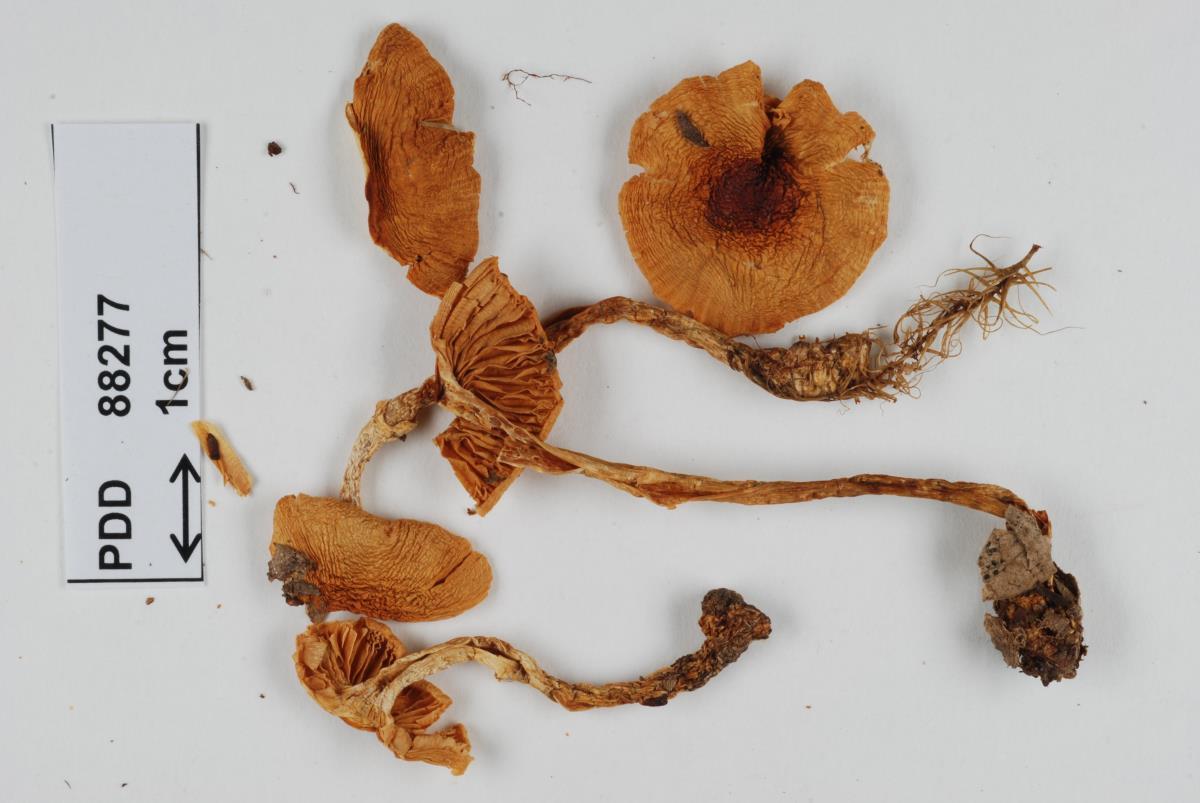 Cortinarius pselioticton image