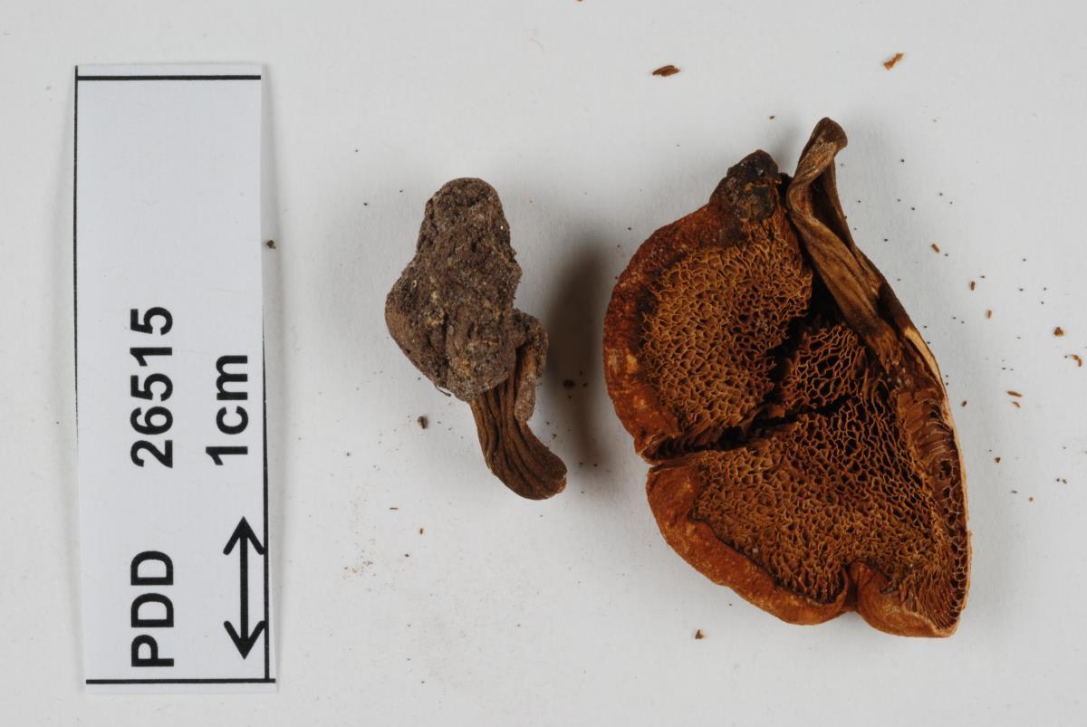 Image of Xerocomus scabripes
