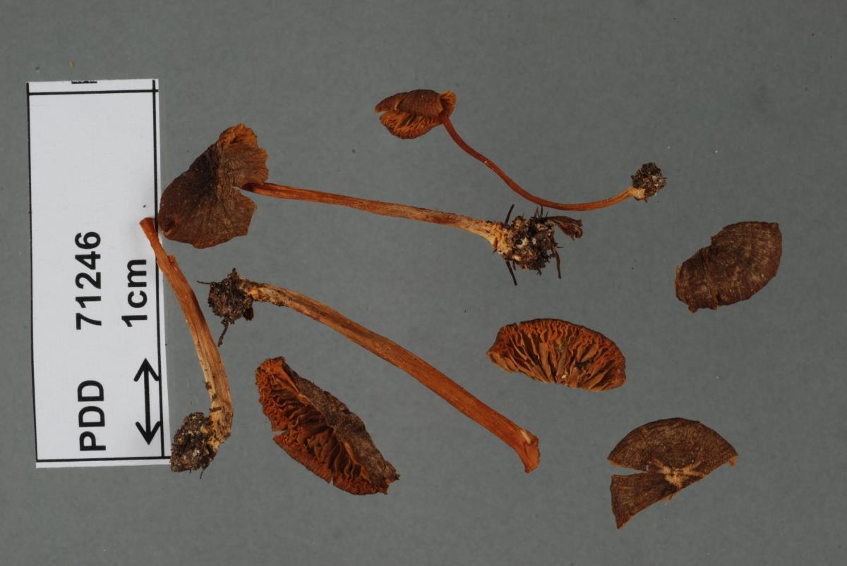 Image of Entoloma persimile