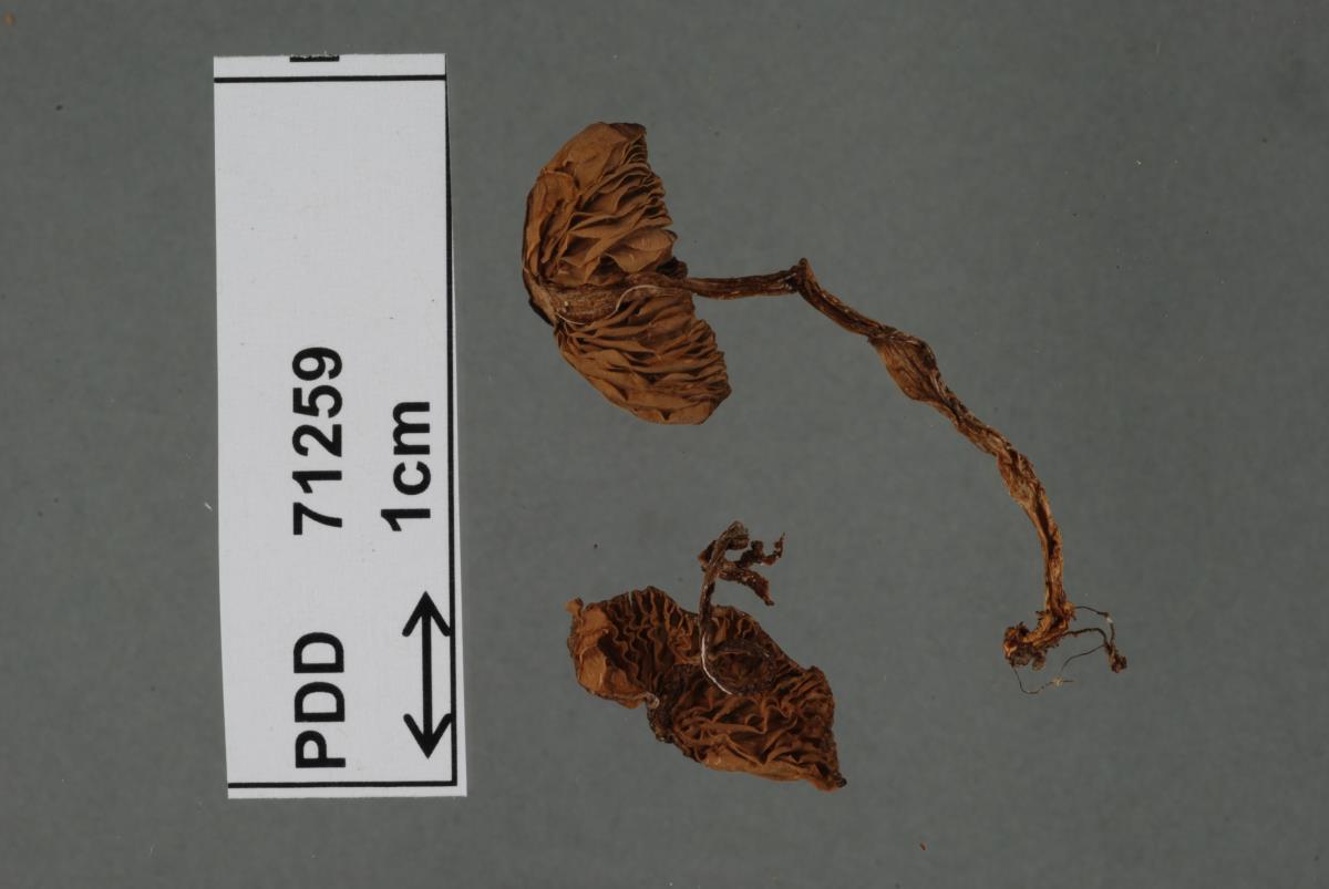 Image of Entoloma peraffine