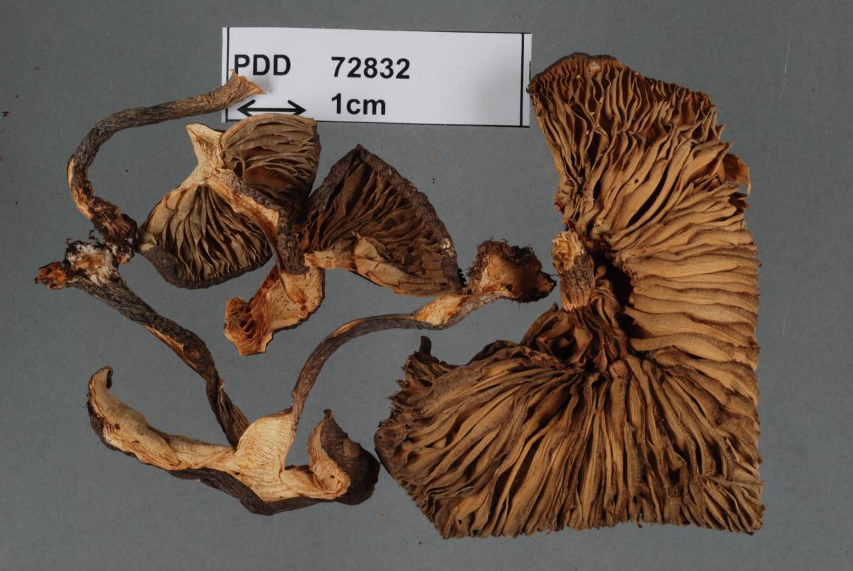 Image of Entoloma fabulosum