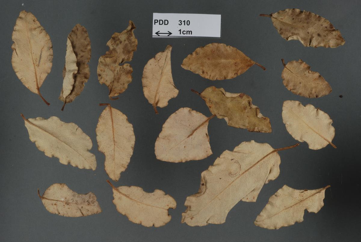 Image of Puccinia akiraho