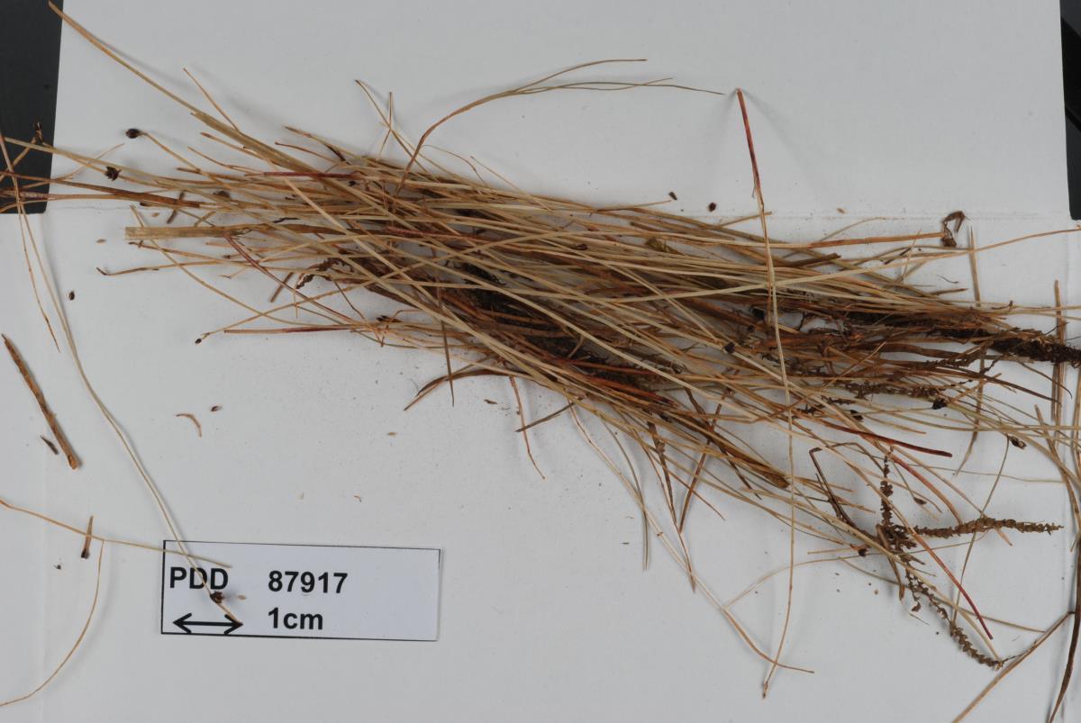 Image of Puccinia austrina