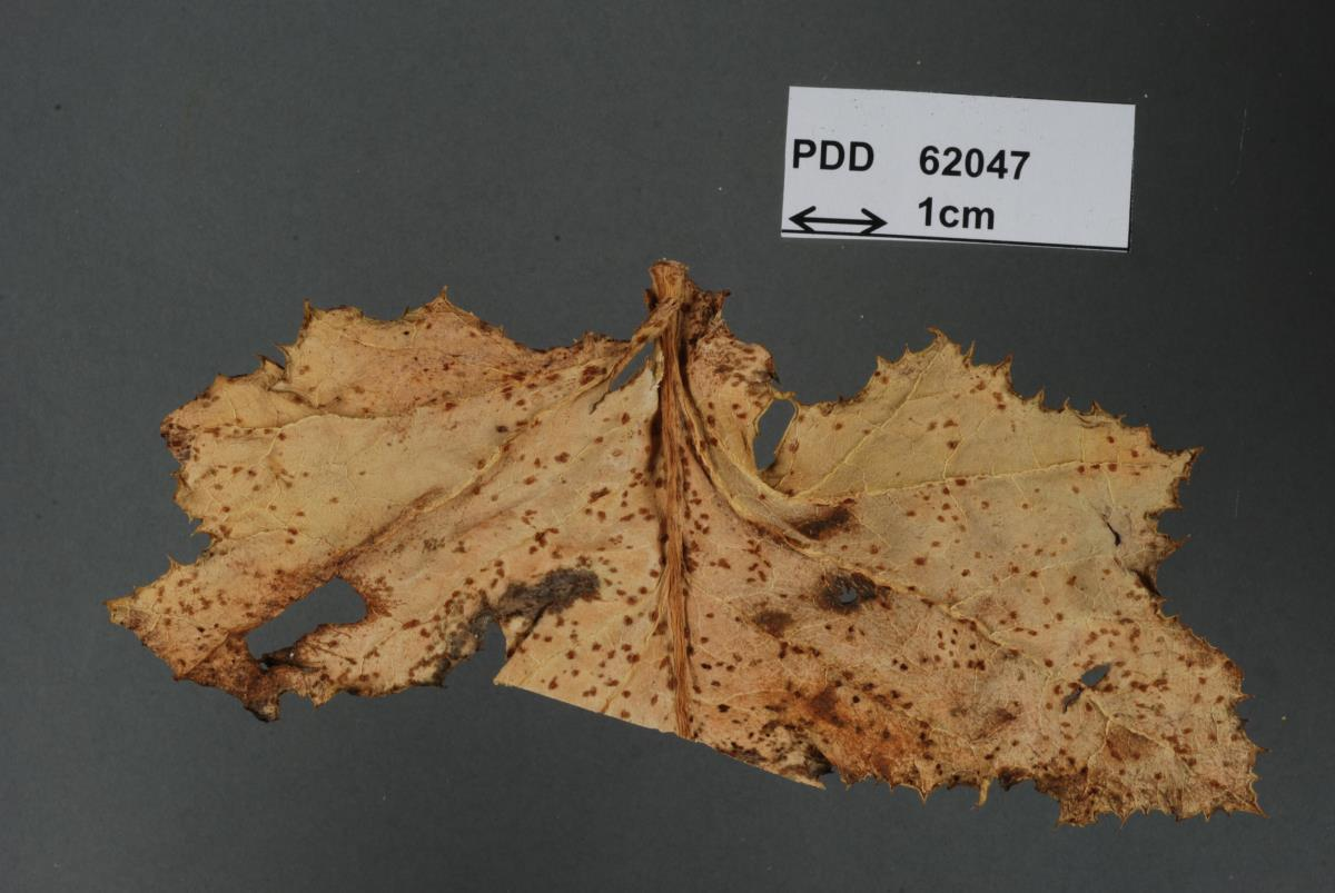 Image of Puccinia embergeriae