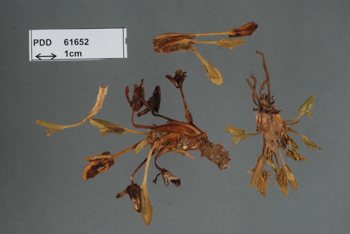 Uromyces gaubae image