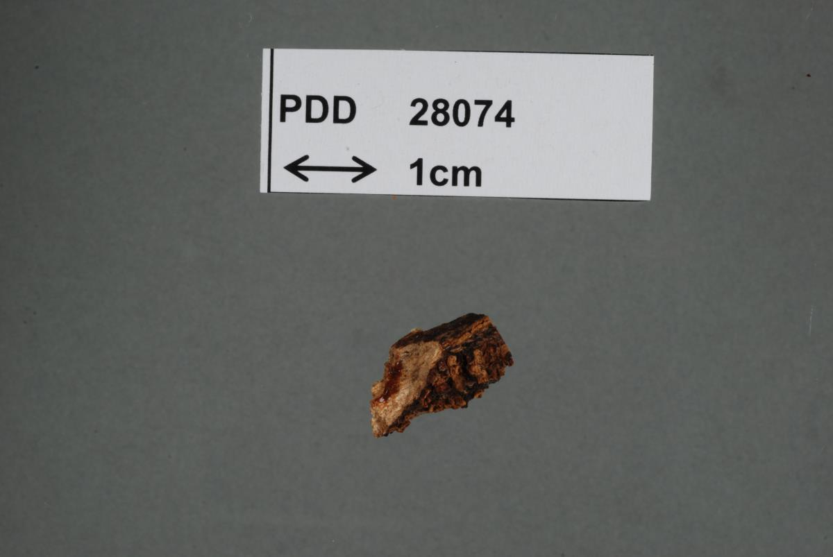 Image of Auricularia minuta