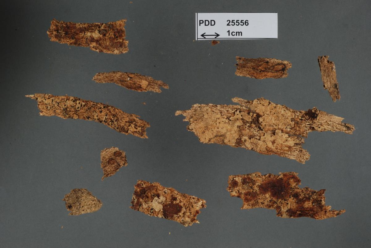 Image of Dacrymyces novae-zelandiae