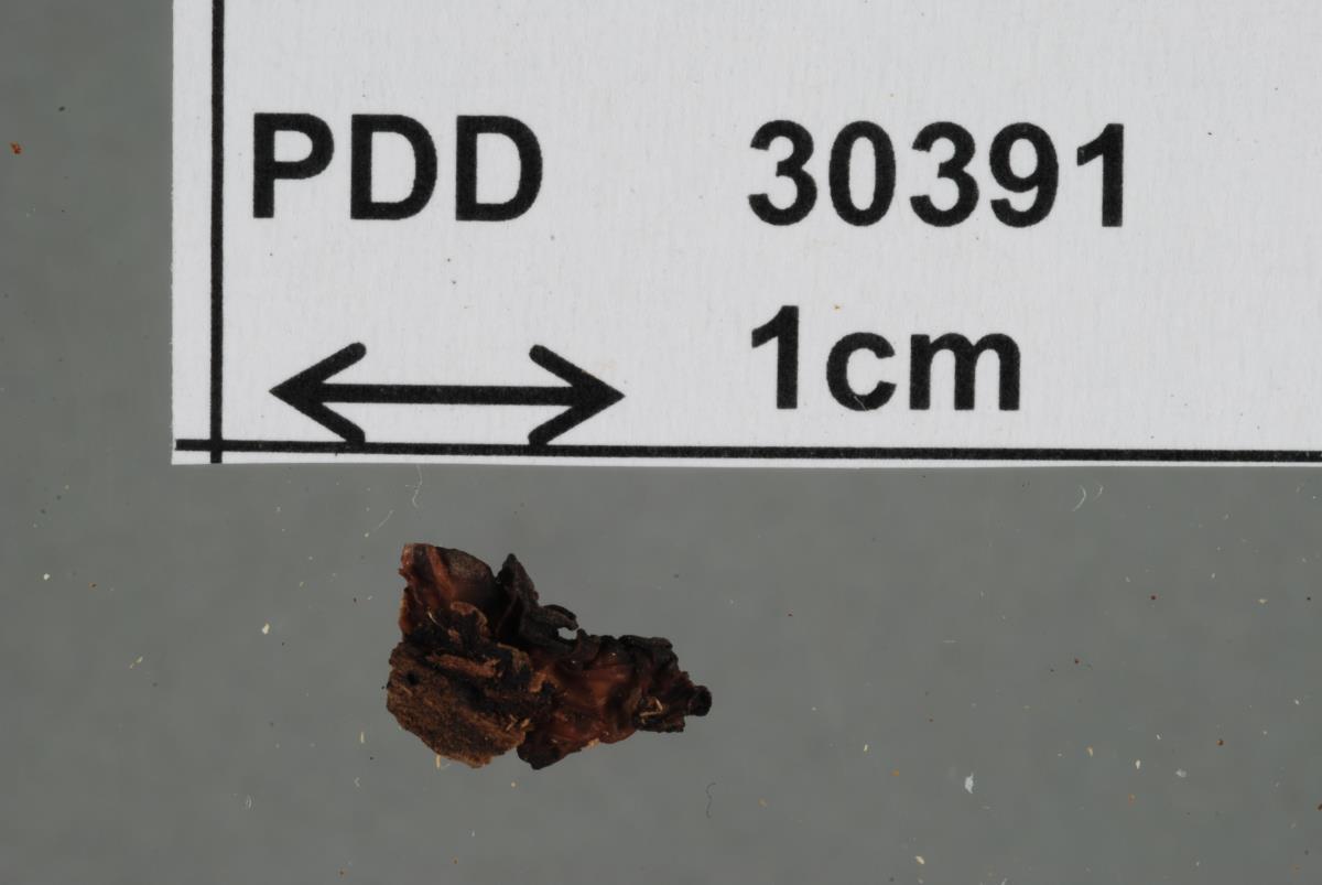 Image of Tremella vinosa