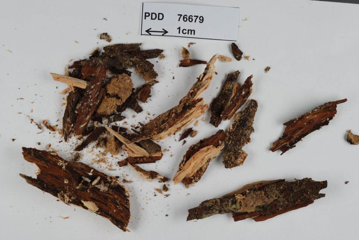 Image of Dacrymyces subantarcticensis