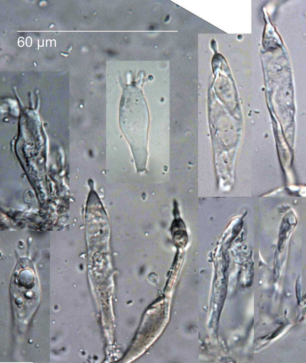 Russula roseostipitata image